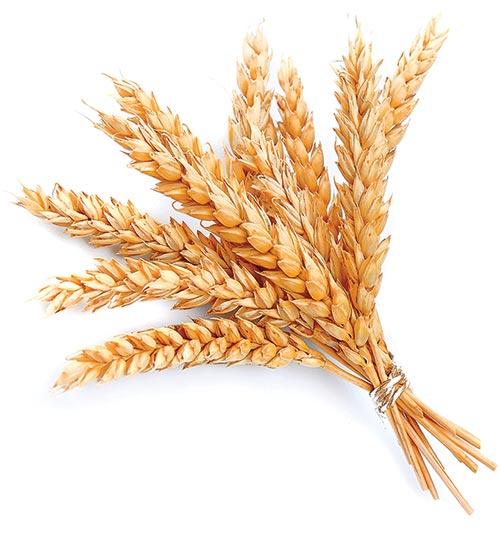 grain kingdom of god